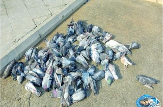 لسبب غير معروف.. نفوق أكثر من 100 طائر حمام وسط استغراب أهالي جدة - صحيفة الخرج نيوز