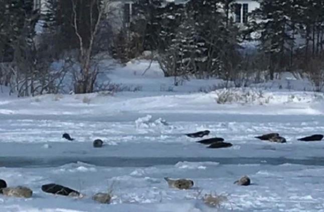 حيوانات الفقمة تهاجم مدينة كندية وتقطع الطرق! (فيديو)