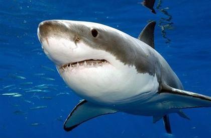 أسماك القرش الأبيض قد تساهم في علاج مرضى السرطان والشيخوخة