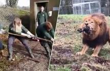 """حملة ضد حديقة حيوان بريطانية بسبب """"لعبة"""" مع الأسود"""