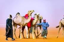 منقية سلطان بن زايد تفوز بـ«الأول» في منافسات الهجن الأصايل