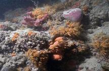 شعاب مرجانية صخرية في المتوسّط