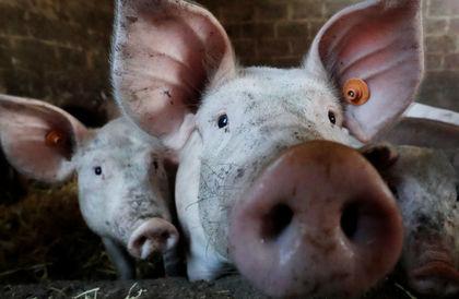 جراح بريطاني يجري تجربة لزراعة قلوب الخنازير في أجسام البشر