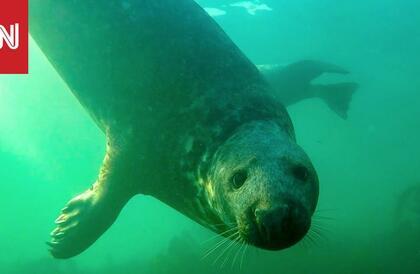 لأول مرة يتم تصوير فقمة رمادية برية تصفق تحت الماء
